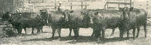 SaltOfAmerica Article - Cattle, the King of Your Missouri